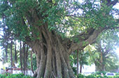 Macau_Mt_Fortress_Museum_of_Macau_n_Banyantree